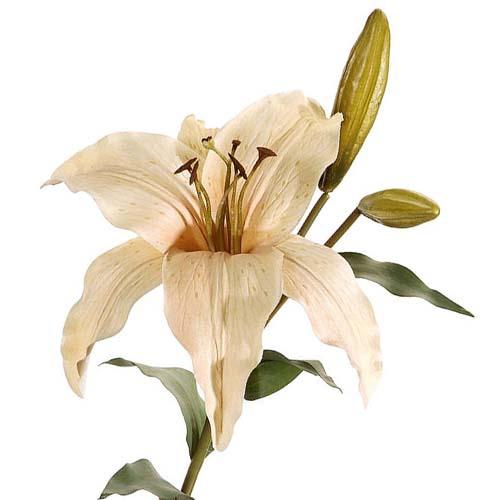kunstblume lilien zweig in creme 71 cm. Black Bedroom Furniture Sets. Home Design Ideas